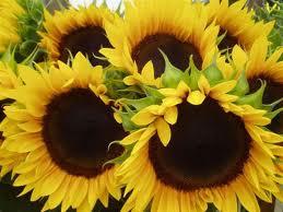 zonnebloemen: zaadjes van opa www.ikzegniets.nl